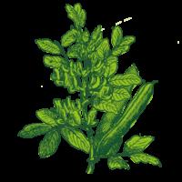 rolandbeans-Ackerbohne Illu400